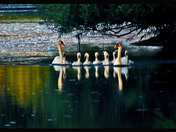 Swan Family-01