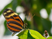 Isabella Longwing Butterfly
