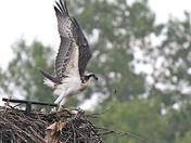 Osprey Neibour