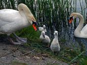 Swan Family-02