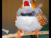 Zebra Finch