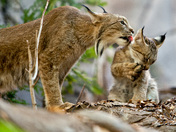 Momma Lynx and 16 month old Kitten