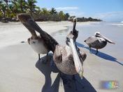 Quartet of Pelican