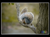 Ball of Squirrel