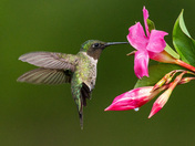 Ruby-throated Hummingbird Feeding from Weigela