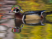 Wood Duck and Fall Reflection