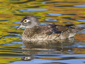 Female Wood Duck and Fall Colours
