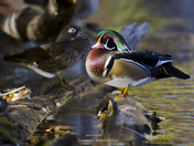 Wood Ducks drying off