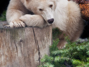 Year Old Kermode Bear