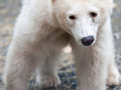 Kermode - or Spirit Bear