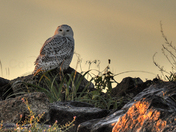 Snowy Owl, First Light