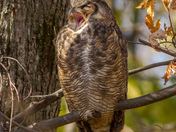 Great Horned Owl Yawn