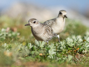 Pair of Plovers