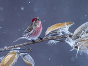 Common Redpoll in Gently Falling Snow