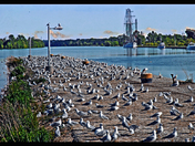 Port Weller Gulls