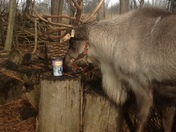Even Santa's Reindeer love Tims coffee