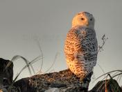Snowy Owl, Sunrise