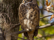 Great Horned Owl in Late Afternoon Light