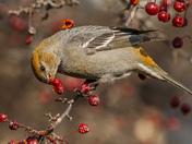 Pine Grosbeak Eating Crabapples