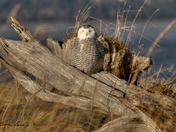 Snowy Owl, On the Spit