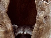 Racoon at Home