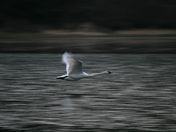 Swan Over Pond