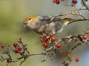 Pine Grosbeak and Crabapple