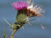Thistle in the Sky