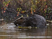 The Great Canadian Algonquin Beaver