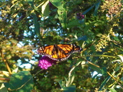 Monarch's bush  -