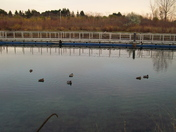sleepy ducks await the nightfall  -