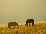 Mtn. Horses