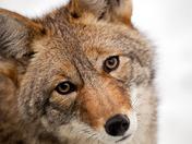 Coyote Eyes