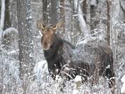 Moose - Cow