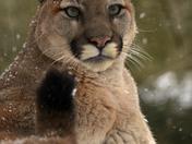 Canadain Cougar