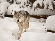 Lone Timber Wolf on the Prowl