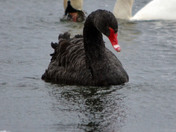 Rare Black swan Sighting
