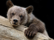 Three Month old Grizzly Bear Cub