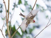 Redpoll in flight