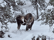 Moose, Winter