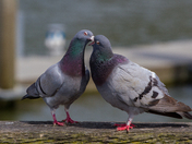 Pigeon Love, Vancouver BC