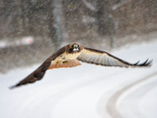 Red-tailed Hawk in a Snowstorm