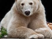 Spirit Bear or Kermode