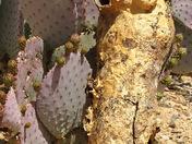 Woodpecker nest in Saguaro cactus