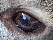 Self-portrait through a deer eye
