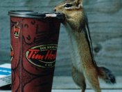 Chipmunks like Timmies too