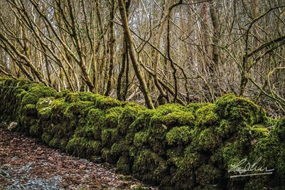 """Moss-covered Rock Wall at Coole Park"" (POSTER)"