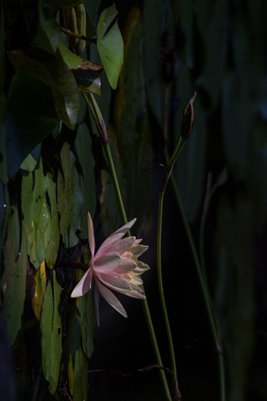 Enlargement - Water Lily and Shadow