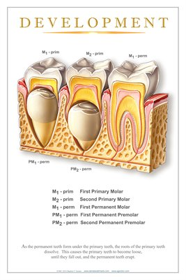 """DEVELOPMENT"" - (white) Dental Wall Chart DWC204"