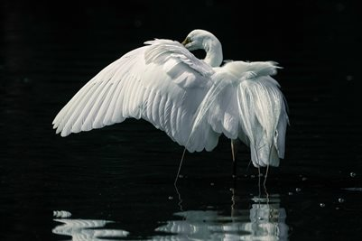 Egret open wing